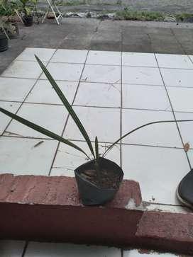 Bibit pohon kurma