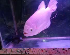 Ikan Gurame Albino Jumbo