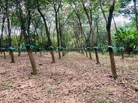 Aluva  vazhakulam marampilly road 1.25acre  rubber land cent 1.50lakh