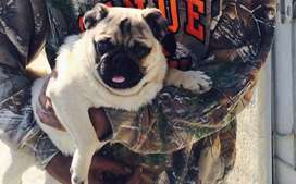 Pug one year old male