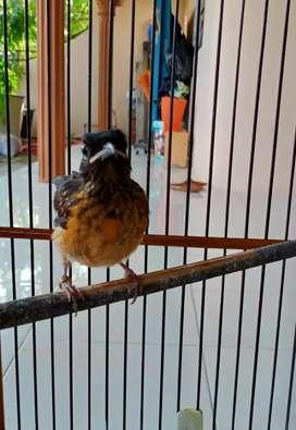 Murai Batu Trotol Trah Aceh x Bahorok Kaki Hitam Ring Ali Bird Farm