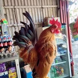 Ayam kate serama jantan