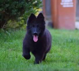 Highly pedigree long coated german shepherd puppies available