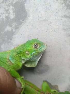 Baby igguana green colombia