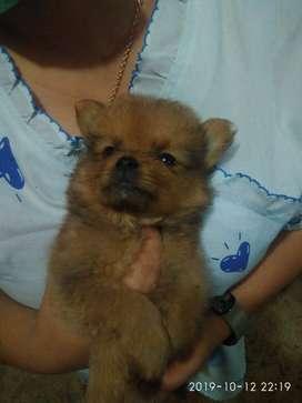 Jual puppy Supermini Pom