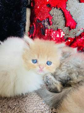 Persian cat kittens available