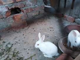 Rabbits pair red eyes pure white age 2months
