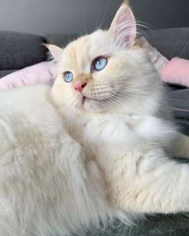 Docile Persian kittens in all colours