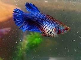 Female Betta / Fighter fish