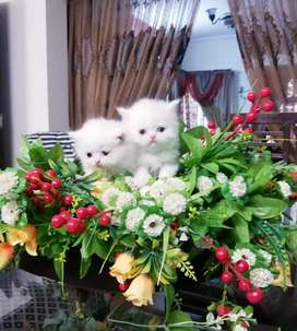 Pure Persian White Twin Kittens for Sale