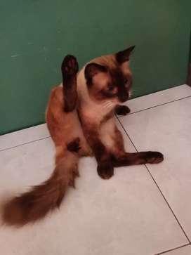 Kucing siam Pejantan tangguh