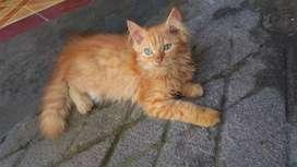 Open Adopt Kitten Persia