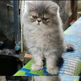 Punch face male kitten