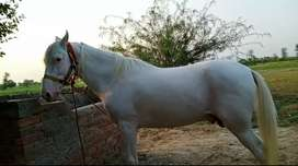 """Pure white nukra male age 4 year height 58"""""""