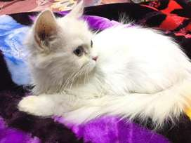 Persian doll face female 6month kitten for sale