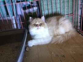 Kucing Peaknose