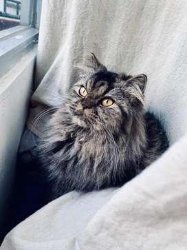 Kucing Persia mix Maincone betina 1,5 tahun
