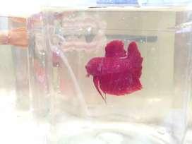 Beta fish red plakat