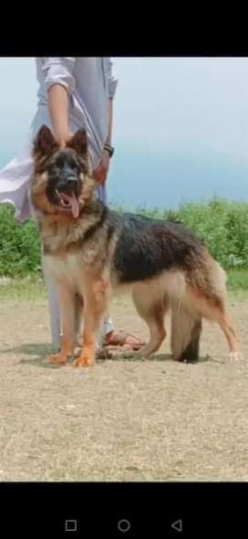 German Shepherd long coat for sale
