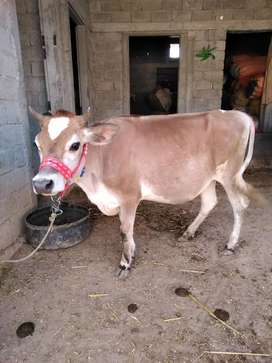 Imported inseminated jersey heifer for sale