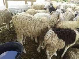 Promo domba aqiqah murah 800rbaan
