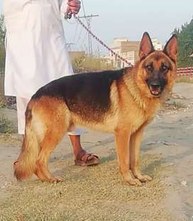 Pure German Shephard Male age 16manth For sale Only Call
