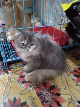 Dijual kucing Persia kaki nya cacat dari lahir satu dapat kandang
