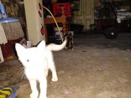 Persian cat white colour