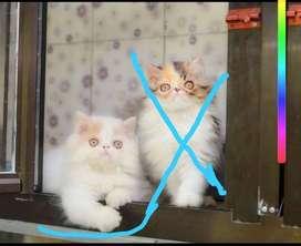 Kucing Jenis Persia peag nose