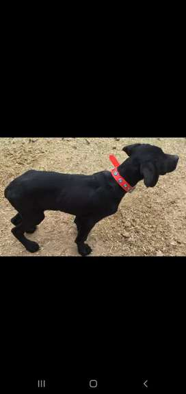 English pointer pure breed