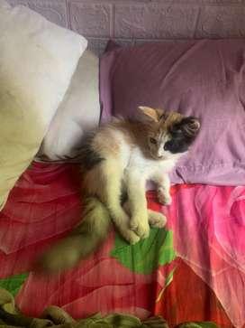 Kucing persia mix dome