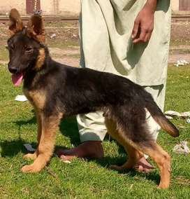 German shepherd medium codeandmail4 mahine for sale