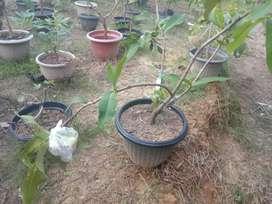 Aneka tanaman buah dalam pot