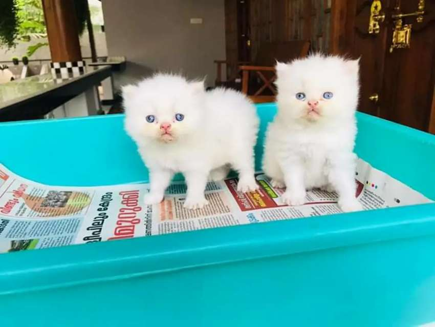 Persian fluffy kitties