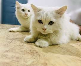 Persian Cats for sale (pair)