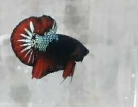 Ikan kalatau betta multi kolor