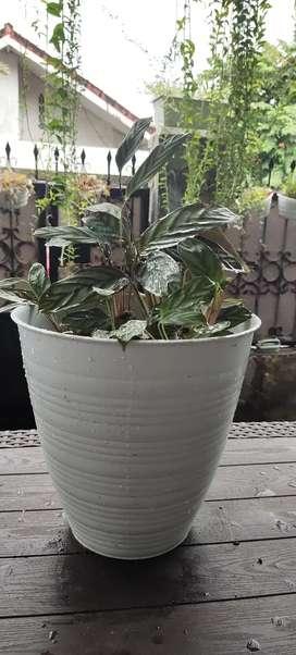 Catalea dengan pot putih