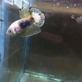 Ikan cupang plakat fancy