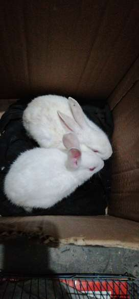 Pure white red eye rabbits