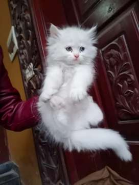 Best Persian kitten