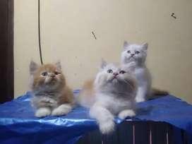 Kucing Persia Kitten Long Hair Jantan Betina