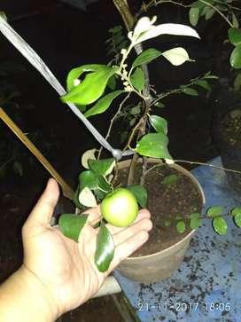 Tabulampot Lampung (tanaman buah dalam pot) bandar lampung