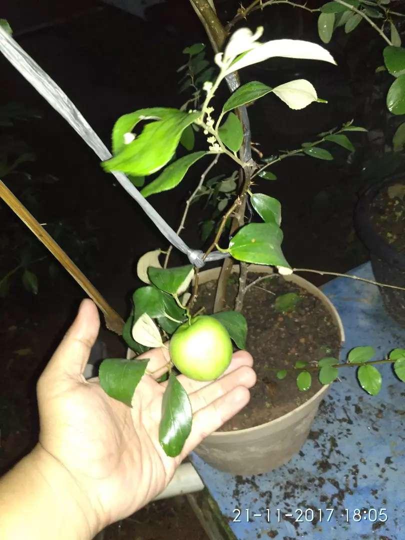 Tabulampot Lampung (tanaman buah dalam pot) bandar lampung 0