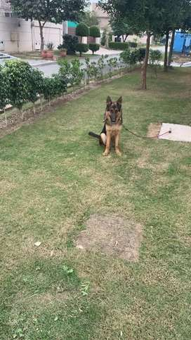 German Shepherd at Reasonable prize