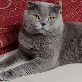 Scottish fold import from rusia