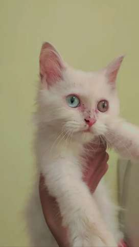 Kucing Kitten Odd Eye White Solid