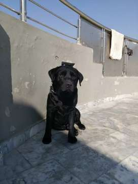 Black Lab for stud