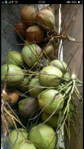 Jual kelapa muda pariaman