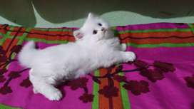 Pure breed Persian kittens cat for sale