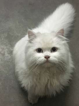 White Persian Male Triple Coated